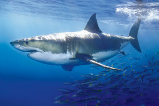 Great White Shark