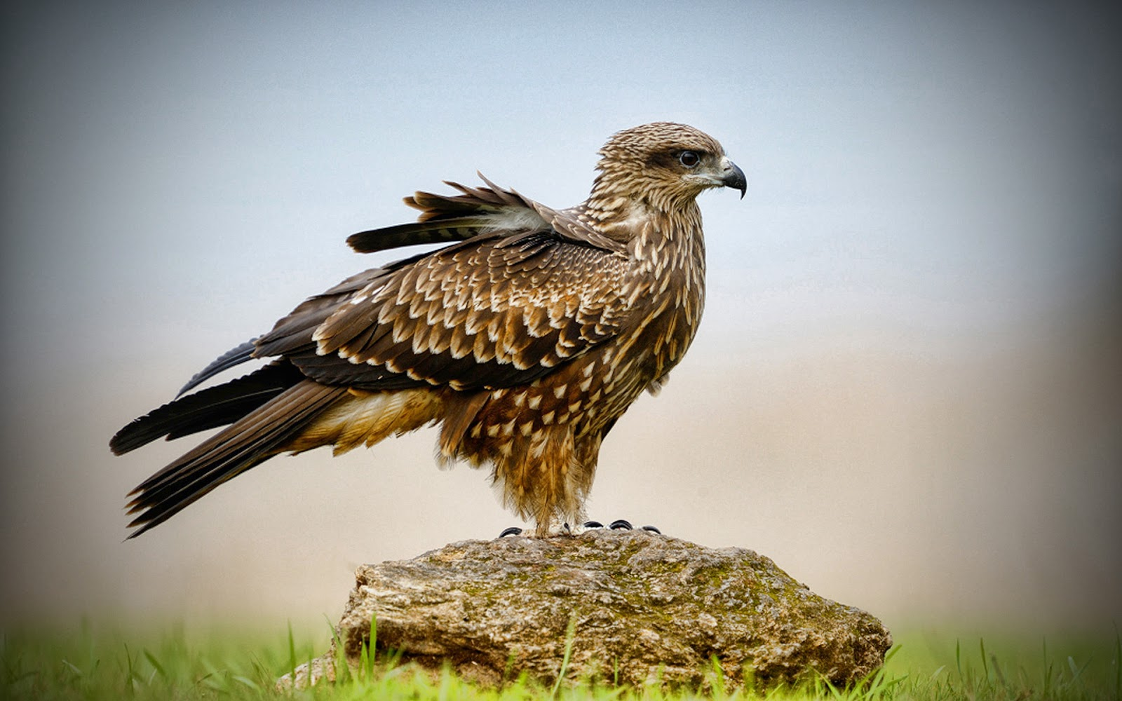 all about animal wildlife peregrine falcon wildlife. Black Bedroom Furniture Sets. Home Design Ideas