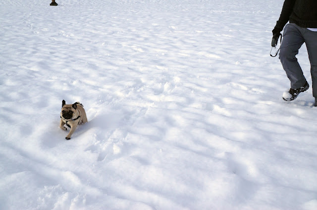 pug, mopps, snow, cute, cold, jumping, funny, rabbit, butt tuck, silly, dog