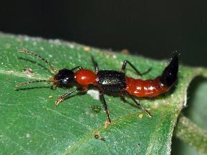 basmi serangga Tomcat