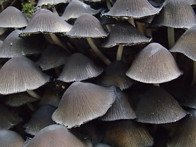 Czernidłak gromadny Coprinus disseminatus,