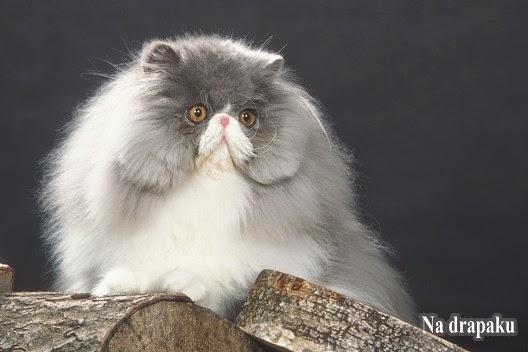 Dziedziczenie łaciatego umaszczenia u kotów