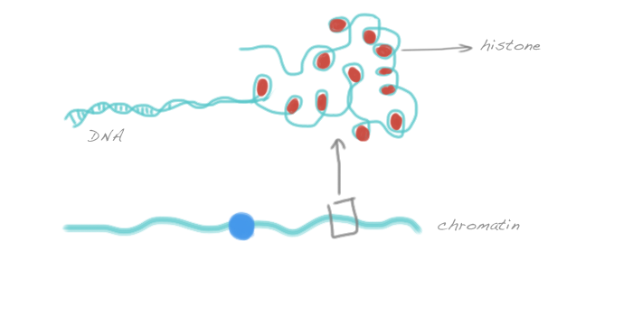litebiology: The difference between chromatin, chromatid and chromosome
