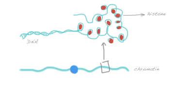 Chromatin consists of DNA wrapped around histones
