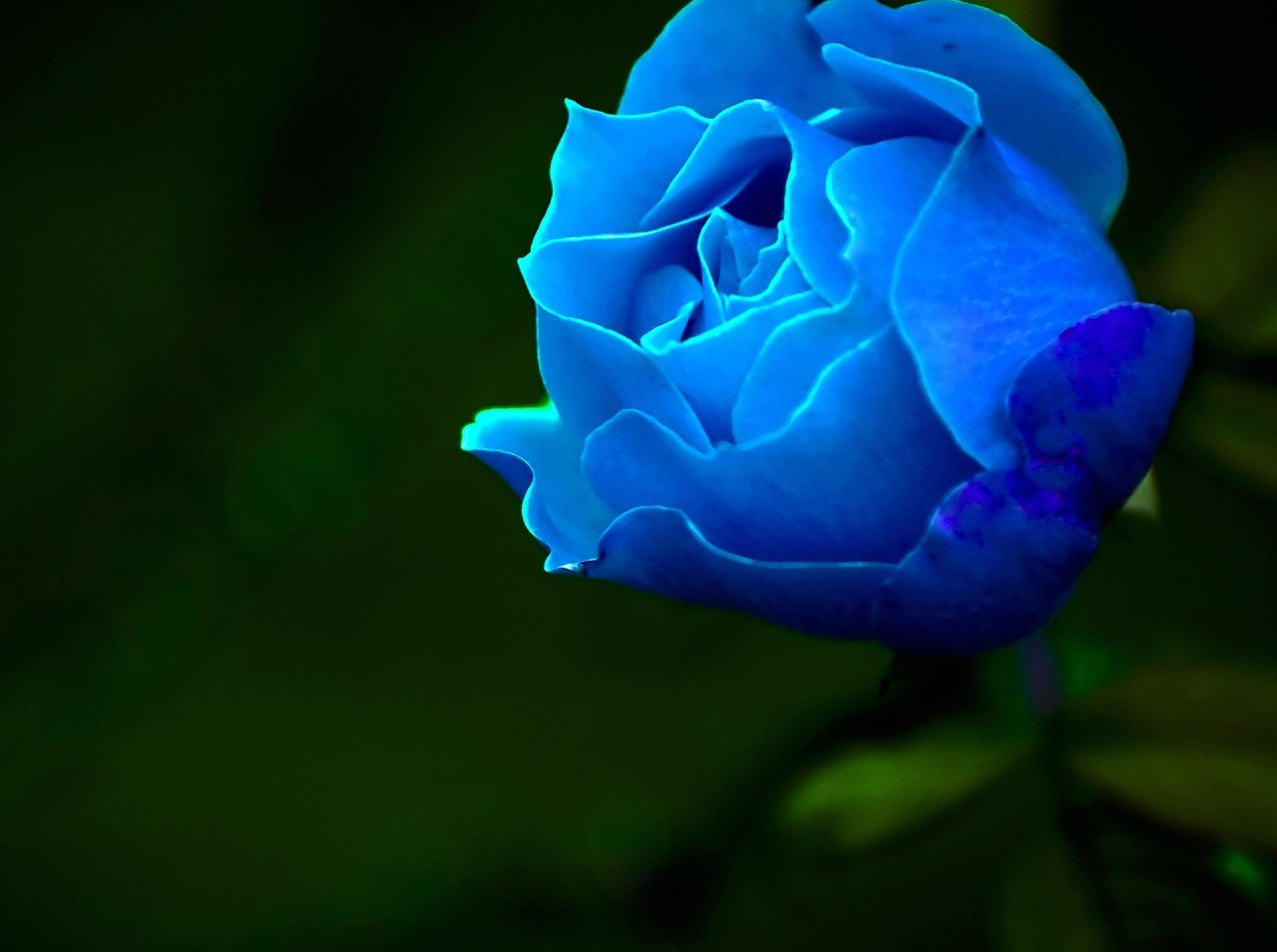 Flowers pictures flowers wallpapers blue roses wallpapers blue roses wallpapers izmirmasajfo