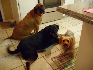 Riley, Tracker and Ricky in kitchen waiting for treats