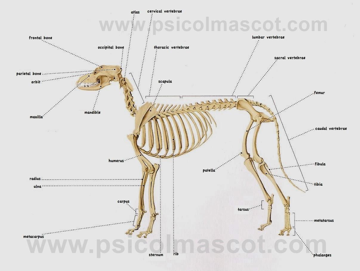 PSICOLMASCOT: La Anatomía del Perro