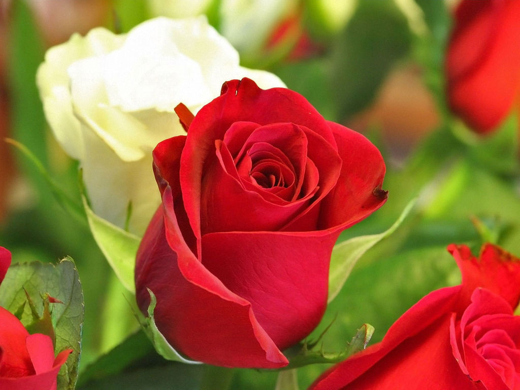 amazing red flower wallpapers - photo #25