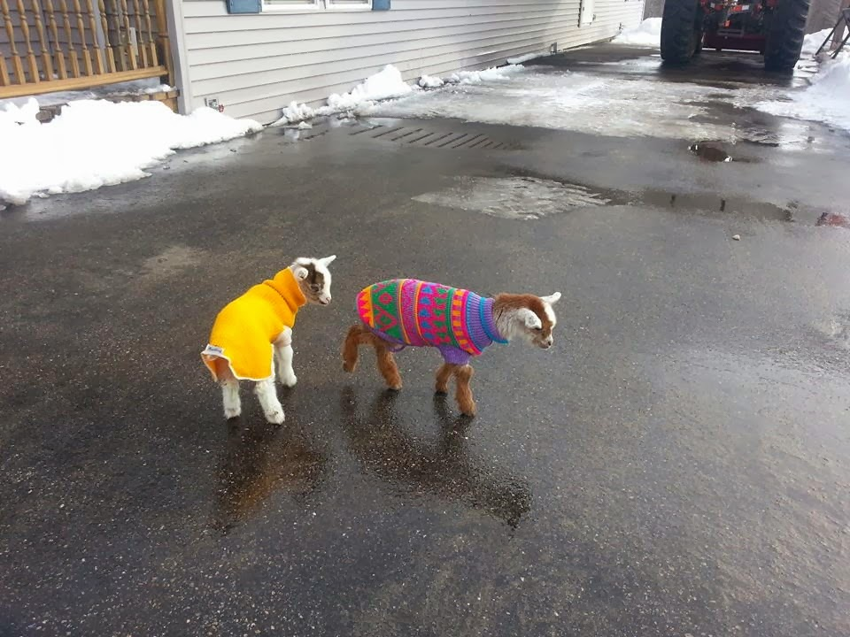 Funny animals of the week - 7 March 2014 (40 pics), two baby goats wear sweaters