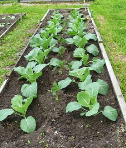 Как сажать капусту в открытый грунт
