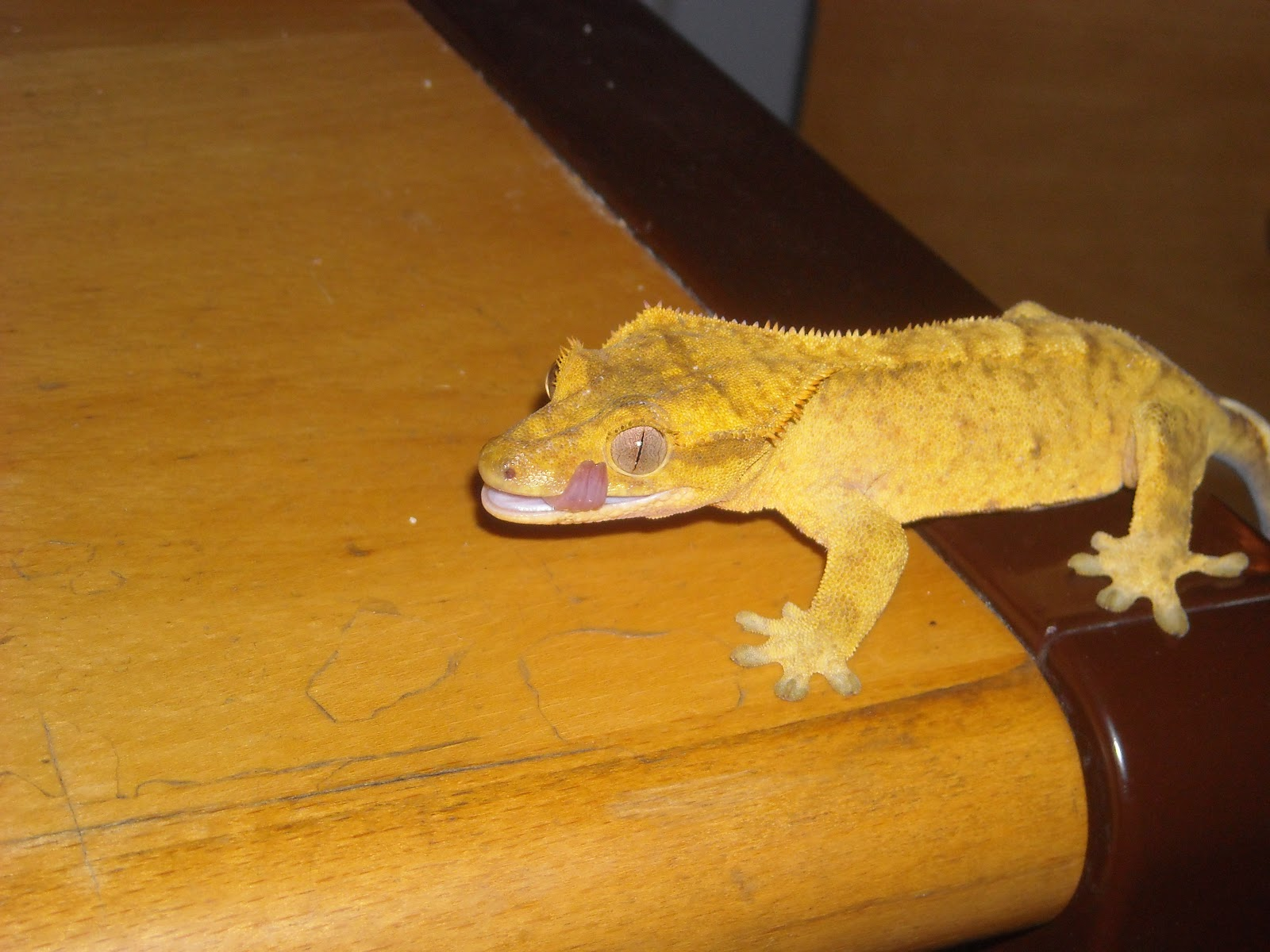 how to build a crested gecko cage
