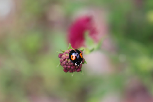A harlequin ladybird form conspicua on Knautia 'Red Ensign'