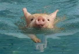 Pincha la foto del cerdito nadando y sígueme en twitter