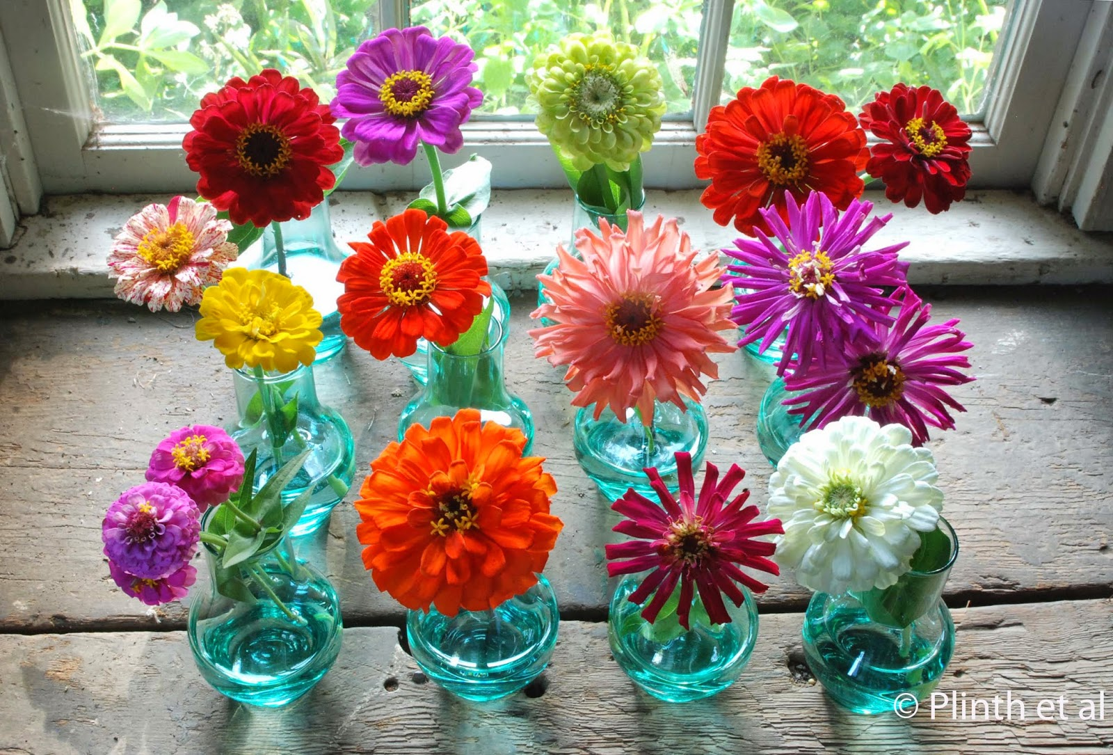 Manila Urban Gardener How To Grow Zinnias In The Philippines