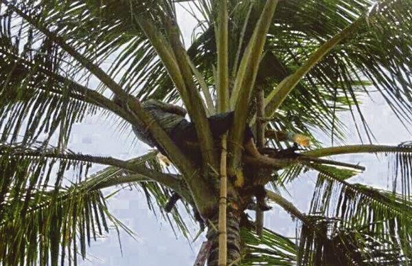 Lelaki Warga Emas Ranau ini merajuk atas pokok kerana tidak diberikan Minuman Keras