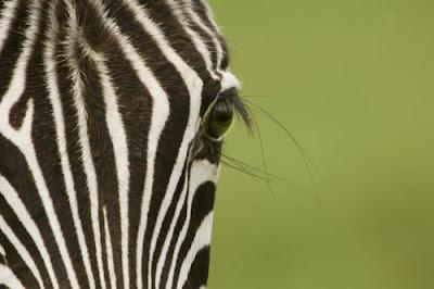el filtro Zebra de Google