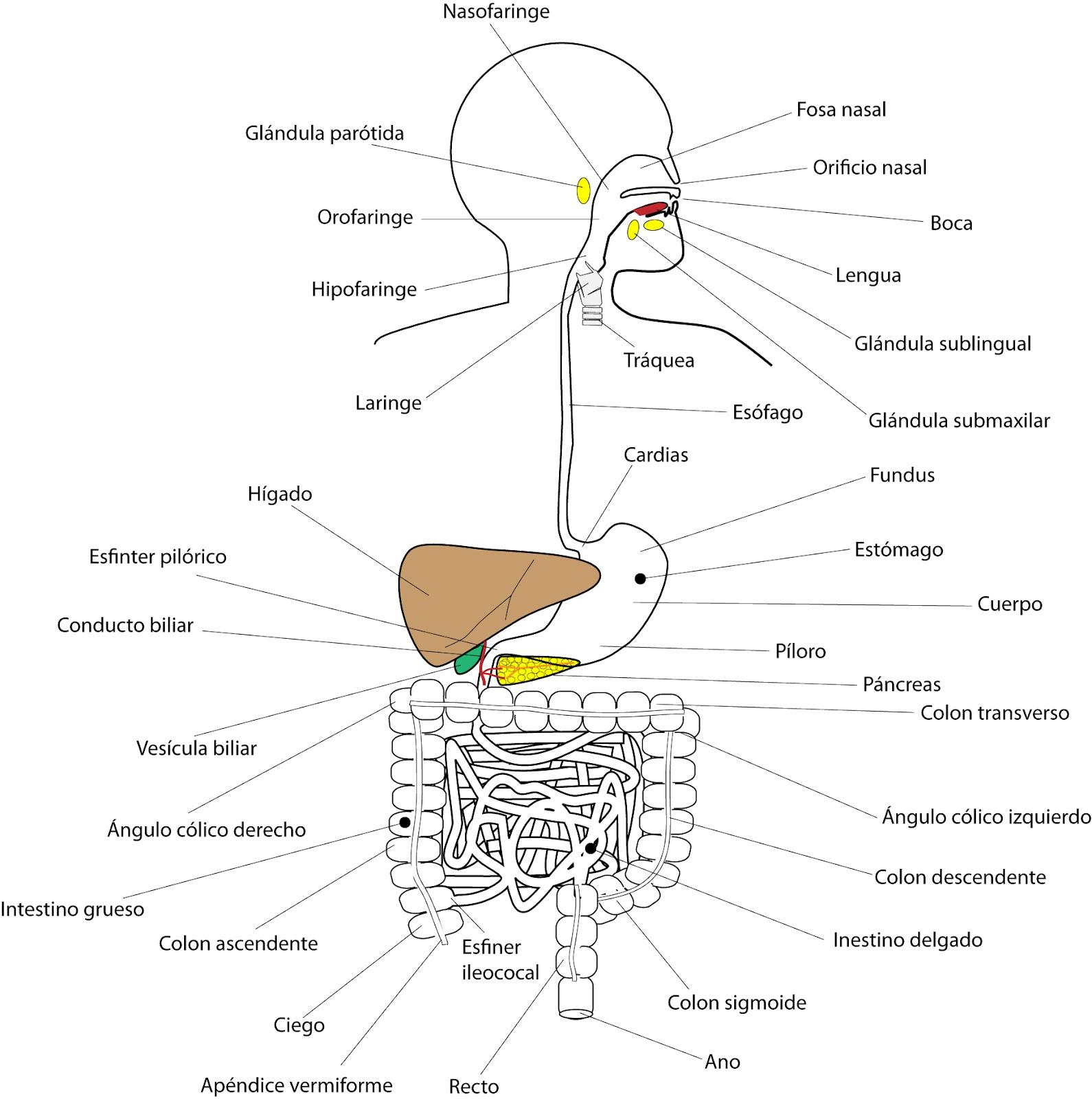 Esquema con las partes del sistema digestivo - Imagui