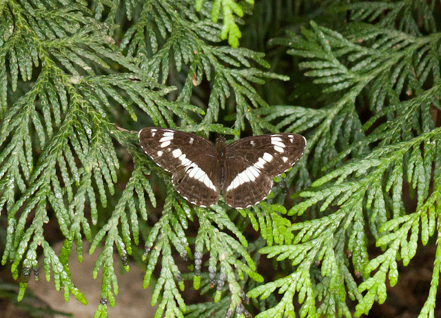 White Admiral - Fermyn Woods, Northamptonshire