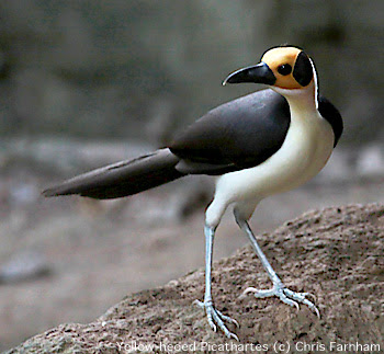 White Necked Rockfowl Bird 1