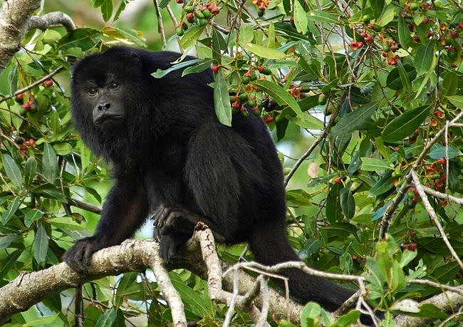 Howler monkeys are infected with parasites once limited to species hunted out of existence in parts of Costa Rica. (Credit: Daniel Brooks Photography) Click to Enlarge.