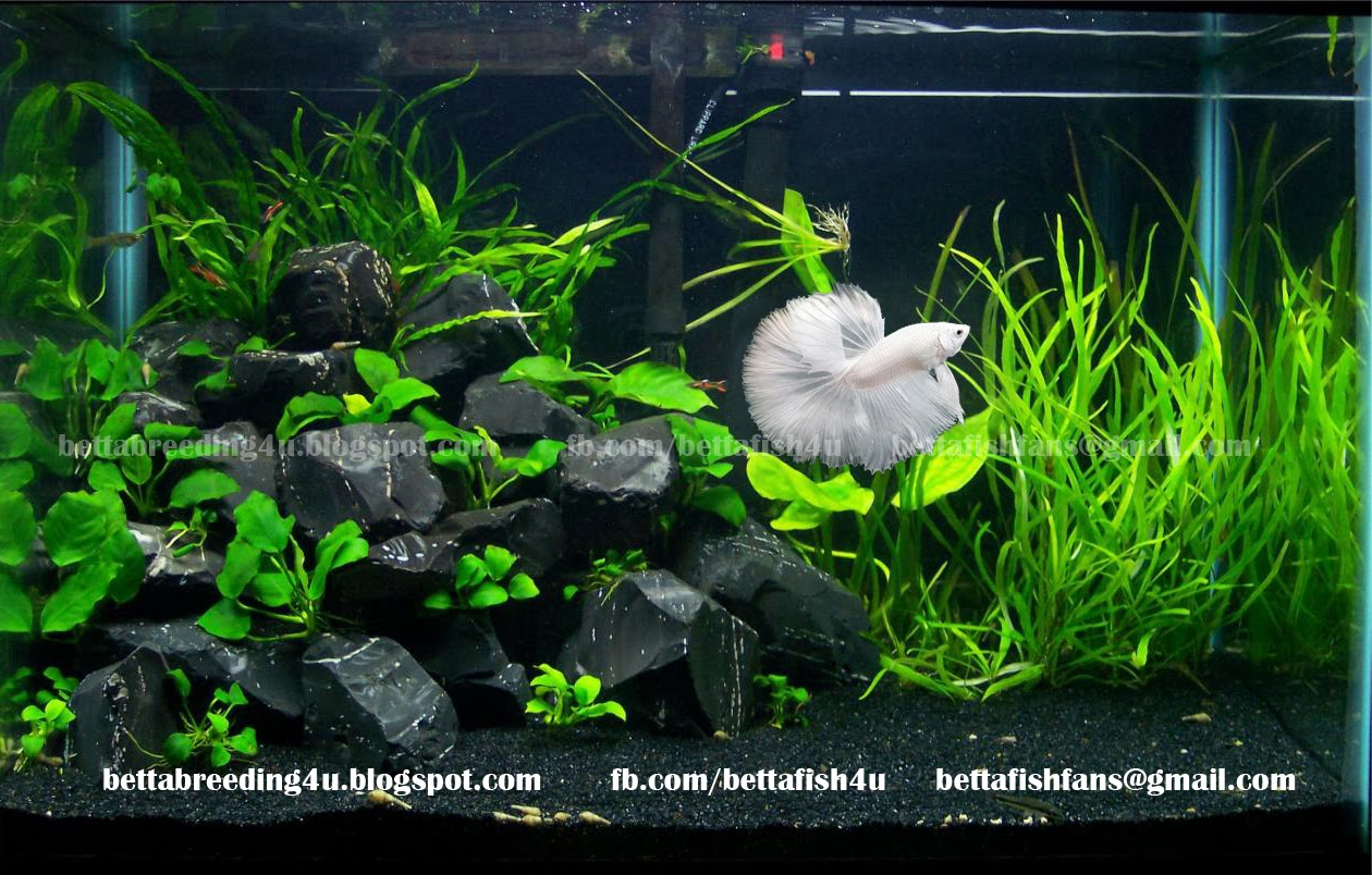 All about betta fish: White halfmoon betta fish in a planted tank