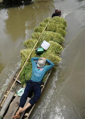 Cánh đồng ngập nước trắng xóa, người dân đi cắt lúa sớm. Anh nông dân này tranh thủ đánh một giấc trên đống lúa vừa thu được ở vùng nước nổi.