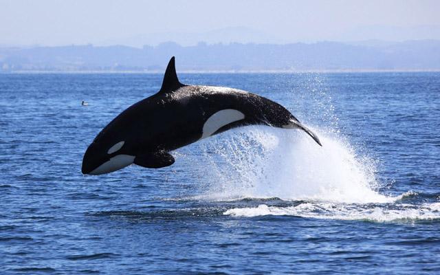 animals wildlife orca picture - photo #16