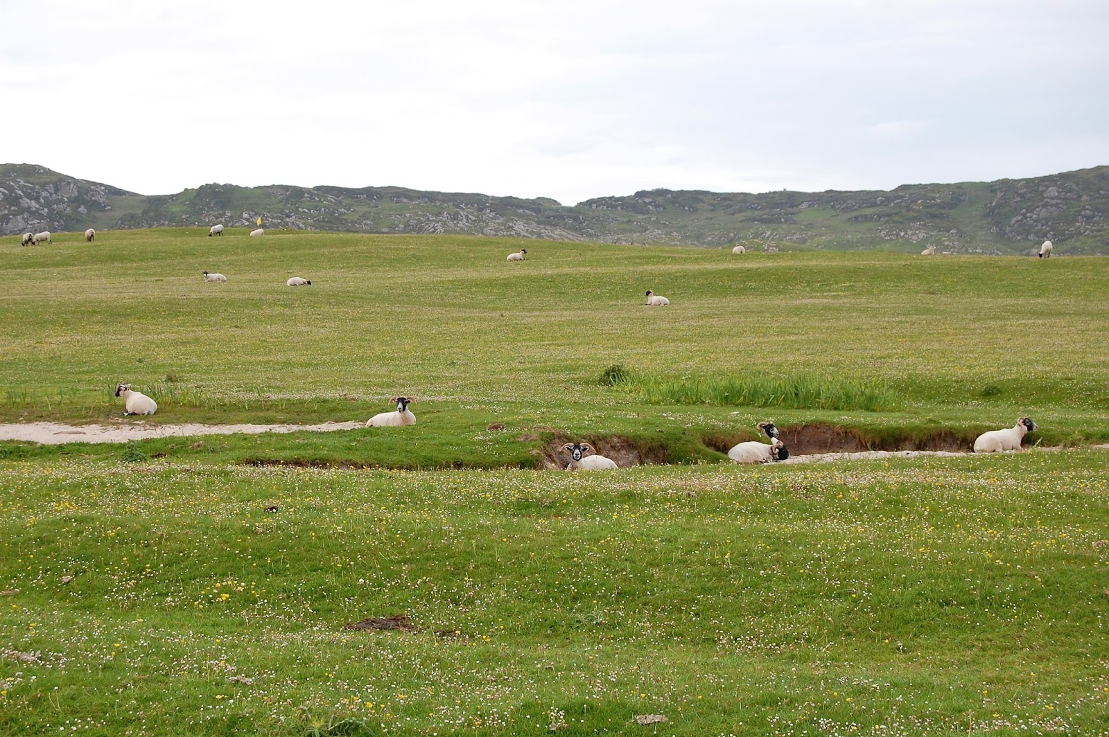 Sheep creating bunkers on the Isle of Iona's golf course