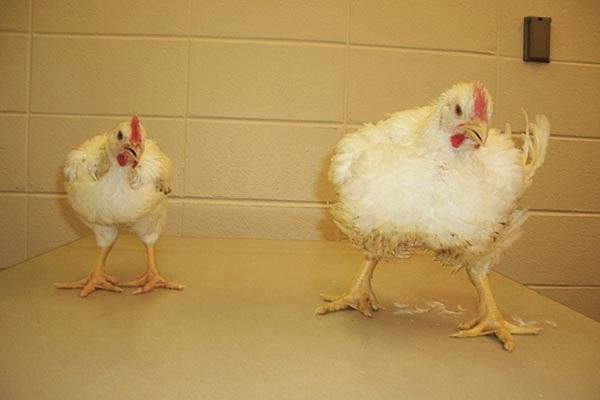 Tips Sukses Usaha Berternak Ayam Potong Untuk Pemula