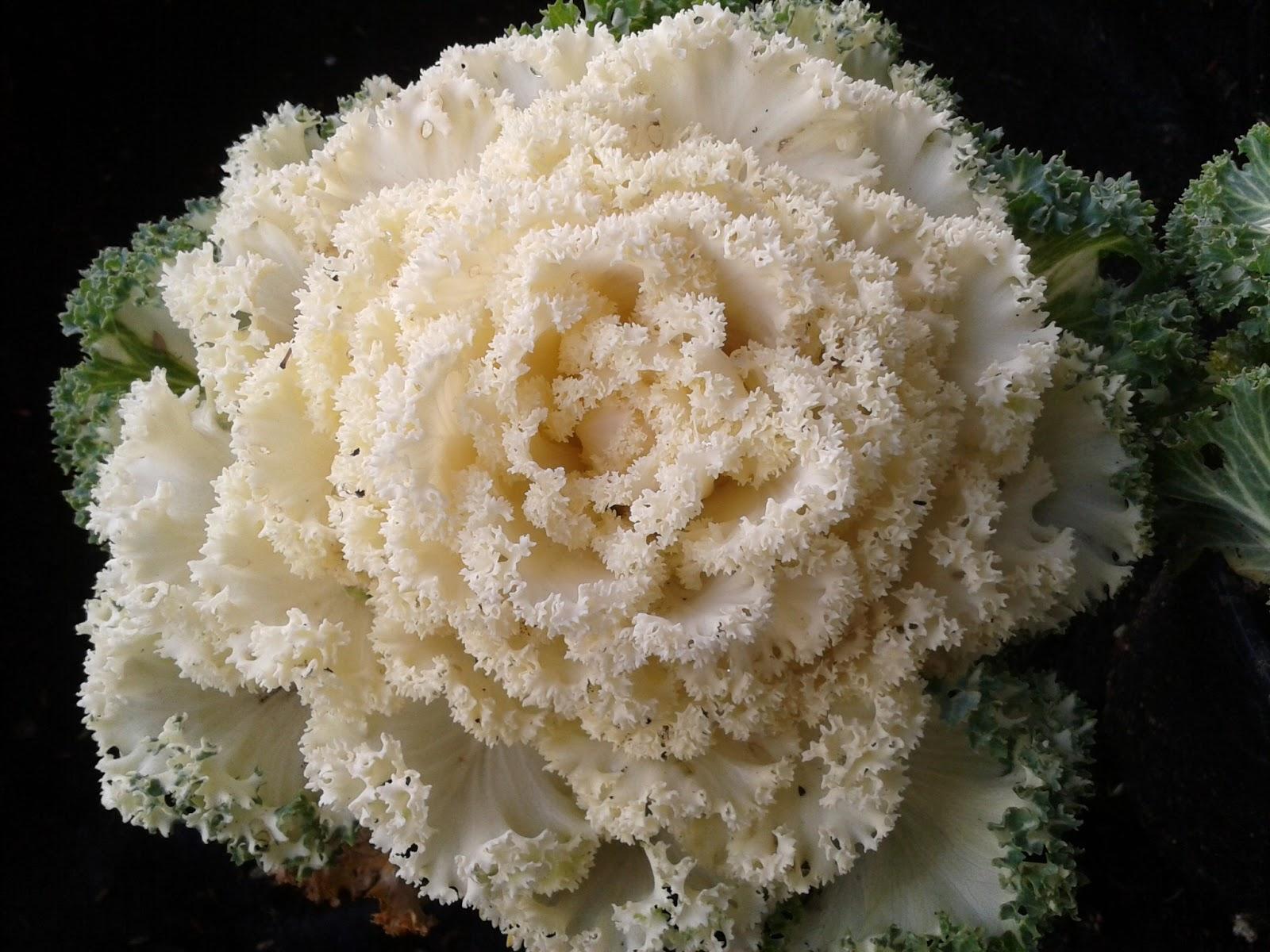 Mil flores col ornamental brasica for Planta ornamental blanca nieves