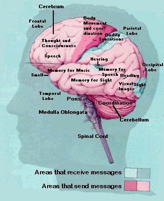 Brain Jack Image: Brain And Parts