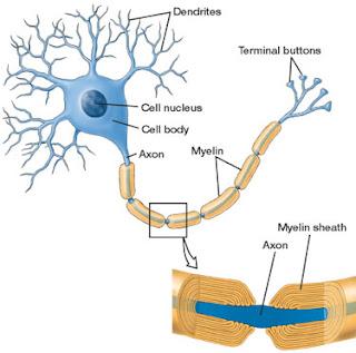 bainha de mielina, sistema nervoso, biologia do ensino médio