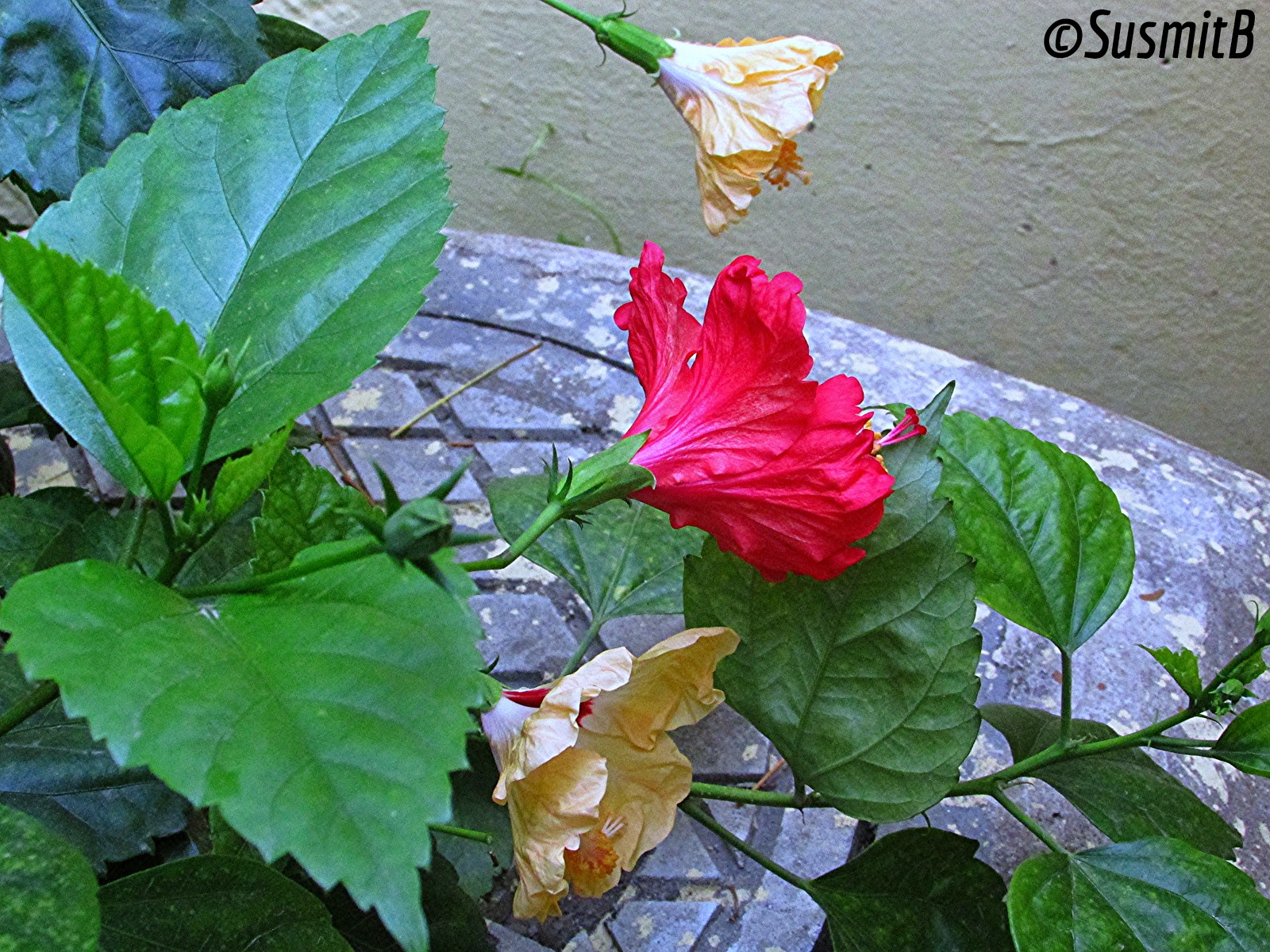 Amateur photography and travel ideas for you red hibiscus flower in one day i noticed that the yellow hibiscus plant near the boundary wall of our premises has blossomed a red hibiscus flower and this is quite an uncommon izmirmasajfo
