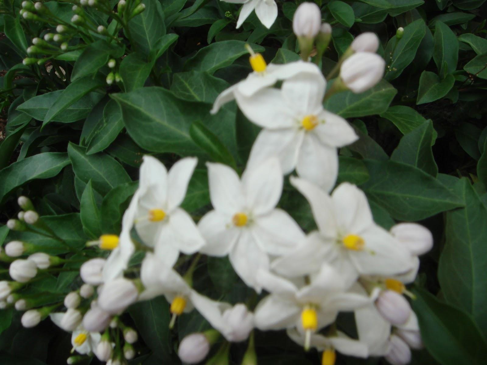 Il giardino delle naiadi solanum la pianta dai mille volti for Pianta solanum