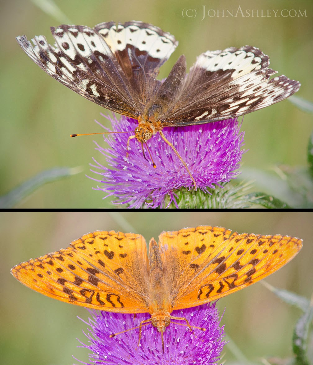 Female (top) and male (bottom) Great Spangled Fritillary butterflies (c) John Ashley