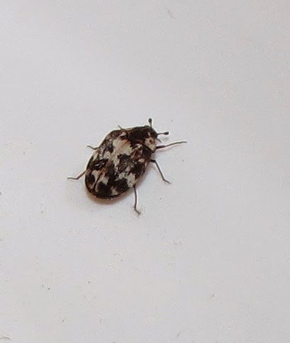 Additional items on the carpet beetle menu include wool blankets and  garments  furs  but you don t have animal hides  right    taxidermy mounts. Bug Eric  Carpet Beetles  Genus Anthrenus