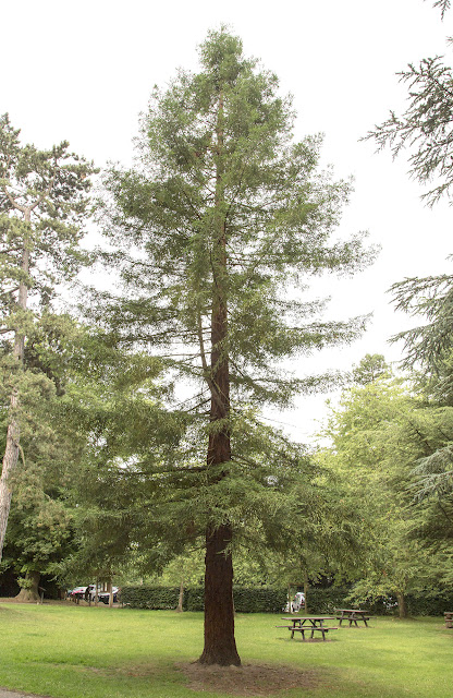 Coastal Redwood, Sequoia sempervirens.  High Elms Country Park, 5 August 2013