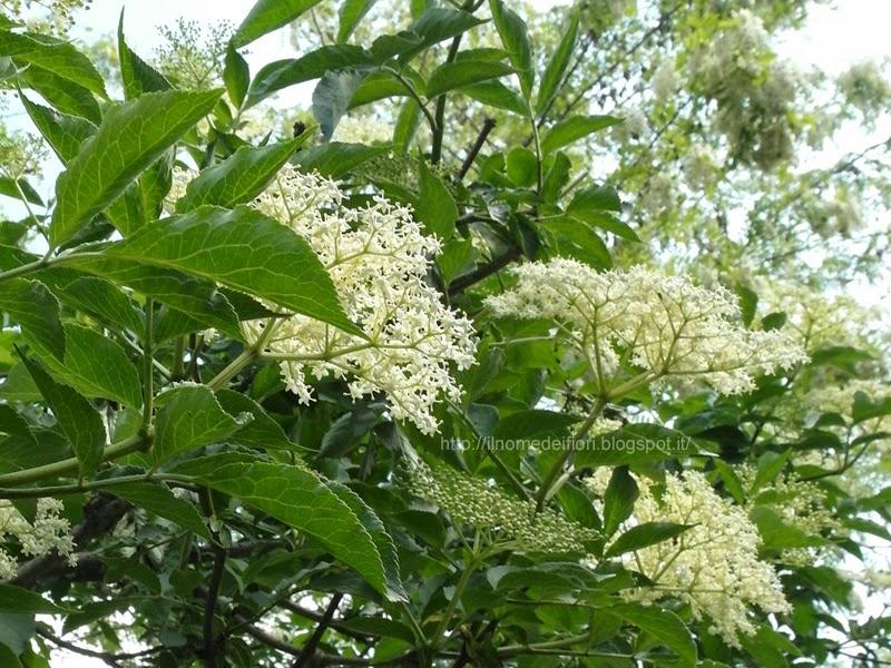 In nome dei fiori sambuco ombrelli di fiori bianchi for Pianta ornamentale con fiori a grappolo profumatissimi