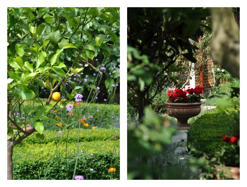 citrontræ, violfrøstjerne, buksbomhæk, middelhavsstemning, middelhavskrukke