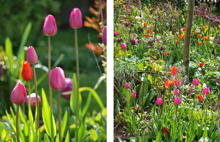 Skab lækkert forårsbed med farverige tulipaner