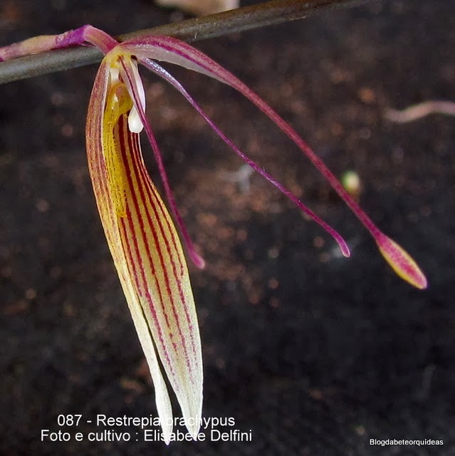 eurothallis hawkesii; Renanthera striata Restrepia antennifera ; Restrepia antennifera subsp. striata Restrepia hawkesii; Restrepia striata