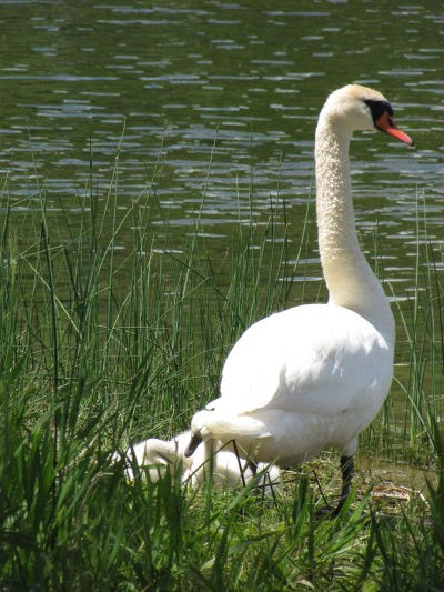 mute swan with babies
