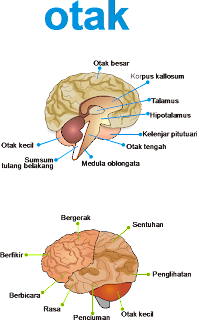 Gambar Penampang Otak Manusia