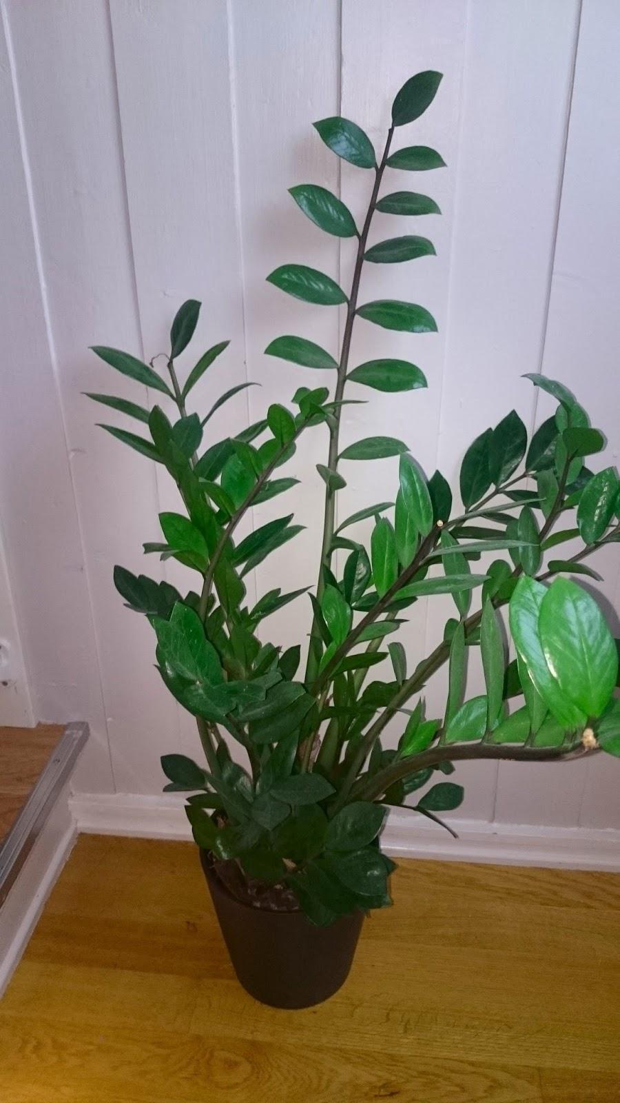 Smaragdpalme giftig kleskab skuffe - Zimmerpflanzen giftig ...