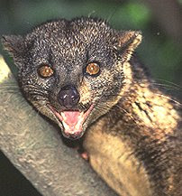 Photo of civet is from itsnature.org