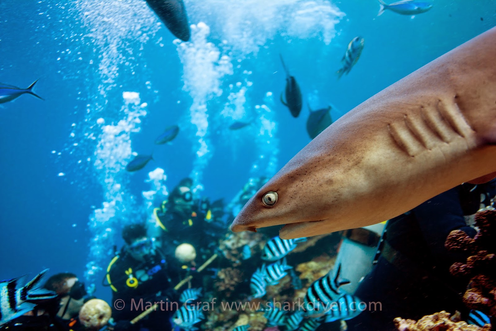 a look at the many efforts in the conservation of sharks by the unfao California sharks include horn sharks, leopard sharks, white sharks & more  white sharks and maybe this is the positive result of all of our conservation efforts.