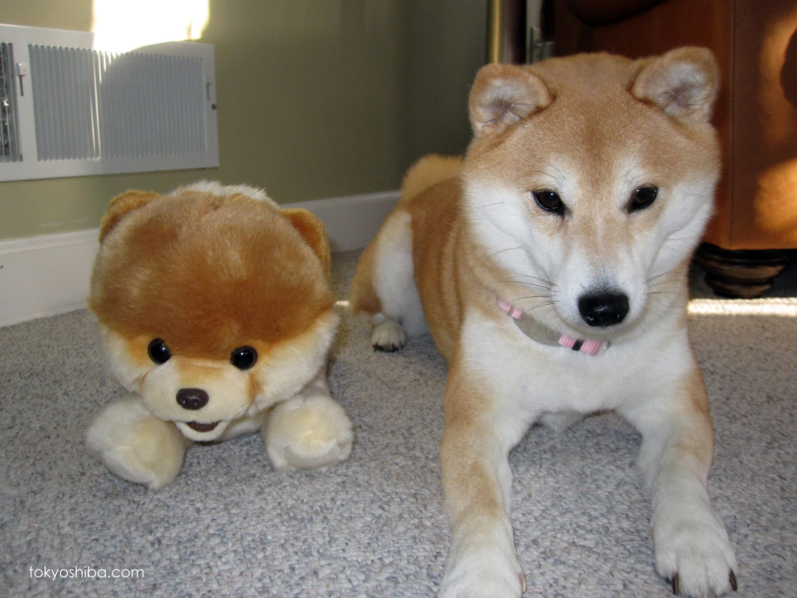Dont Forget There Are Always More Pictures Of Me At Tokyo My Shiba Inu Tumblr And Be Sure To Follow On Twitter Tokyoshiba