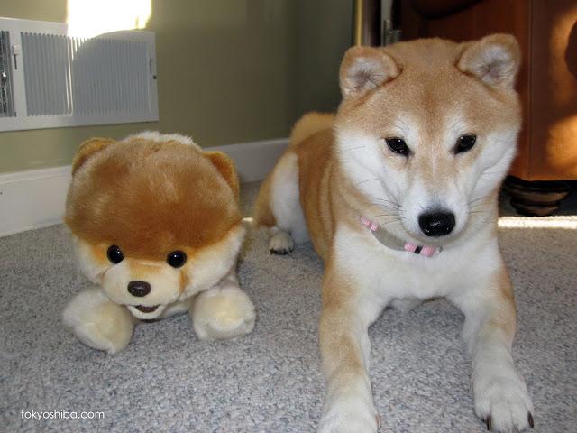 Doge Good Vs Evill Cate