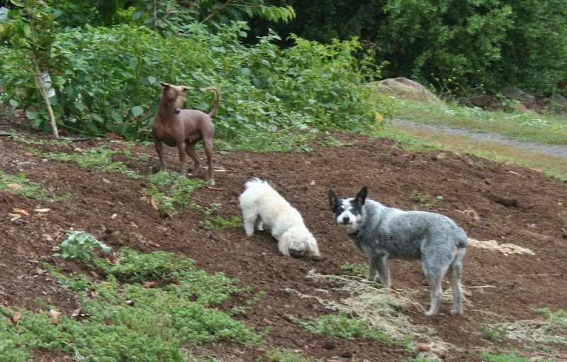 three dogs standing on a little hill, the dog at the top is a medium brown hairless dog with crest of hair shooting out of his head