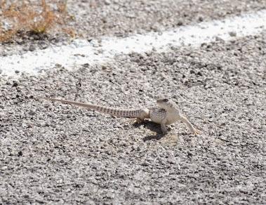 Desert Iguana Dipsosaurus dorsalis 142